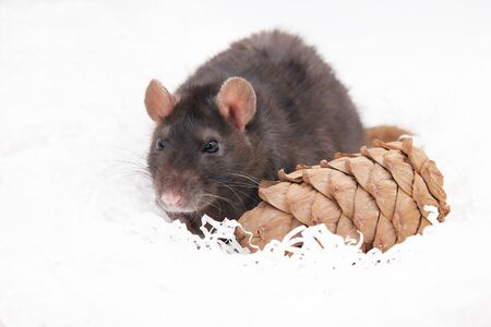 A black rat on a white background next to a pine cone. Symbol of The new year 2020 on the Chinese calendar. Stok Fotoğraf - 131434495