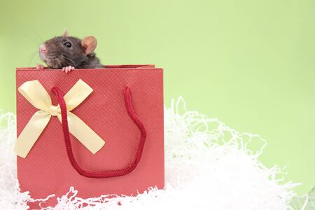 A black rat in a gift bag. The concept of the New year 2020. Happy New Year. Stok Fotoğraf - 132360743