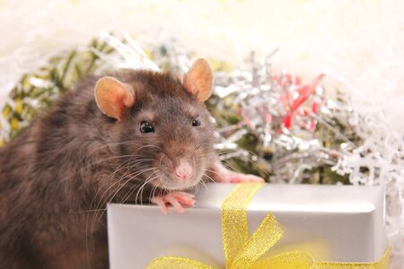 Black rat and the gift. The concept of the New year 2020. Happy New Year. Stok Fotoğraf