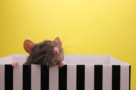 A black rat peeks out of the box. The concept of the New year 2020. Happy New Year. Stok Fotoğraf - 132360745