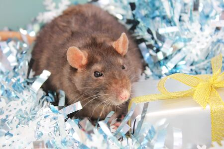 Black rat among the tinsel near the gift. The concept of the New year 2020. Happy New Year. Stok Fotoğraf - 132360748