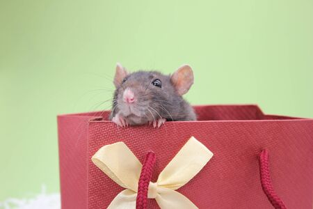 A black rat peeks out of a gift bag. The concept of the New year 2020. Happy New Year.