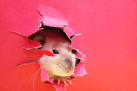 Rat is looking through the ragged hole in the red paper. Happy New Year 2020. Chinese calendar. year of rat. Stok Fotoğraf - 132360756