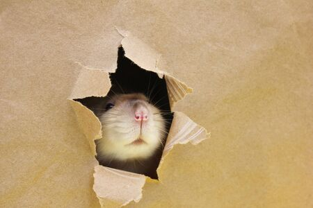 Rat is looking through the ragged hole in the paper. Happy New Year 2020. Chinese calendar. year of rat.