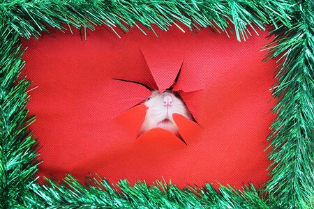Rat face in the ragged hole . Happy New Year 2020. Chinese calendar. year of rat. Stok Fotoğraf - 132360757