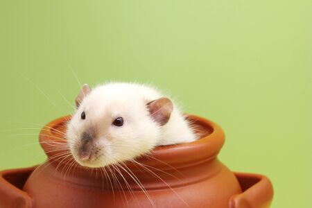 Rat in a clay pot . Happy New year 2020. Chinese calendar. year of rat. Stok Fotoğraf - 132185647
