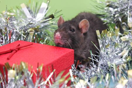 Black rat and a red gift box among shiny tinsel. New year mood. Christmas card. Happy New Year 2020. Stok Fotoğraf - 132360762