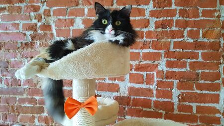 Black and white satisfied well-fed cat lies on a special scratching post with a bench on the background of a brick wall Stok Fotoğraf - 132360764