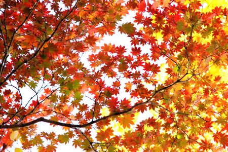 Autumn forest. Red and yellow maple leaves in the autumn season. The colors of autumn. Stok Fotoğraf - 132411246