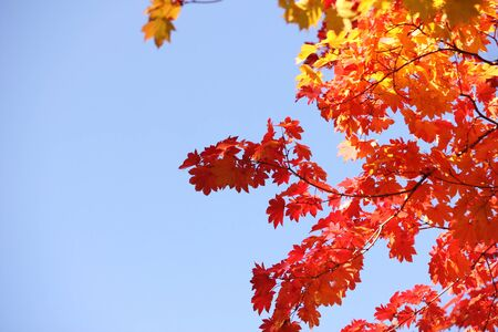 Autumn forest. Red and yellow maple leaves in the autumn season. The colors of autumn. Stok Fotoğraf - 132411309