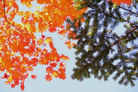 Autumn red maple leaves and spruce branches on blue sky background. Autumn forest. Red and yellow maple leaves in the autumn season. The colors of autumn. Winter is coming. Stok Fotoğraf - 132411403