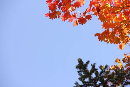 Autumn red maple leaves and spruce branches on blue sky background. Autumn forest. Red and yellow maple leaves in the autumn season. The colors of autumn. Winter is coming. Stok Fotoğraf - 132411340