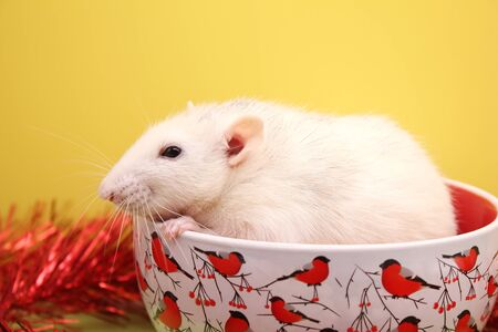 Decorative white rat sitting in a Christmas plate. Symbol of The new year 2020. Happy New year . Chinese calendar. year of rat. Stok Fotoğraf - 133454010