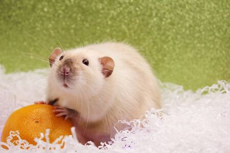 Rat and the tangerine. The rat is a symbol of the new year 2020 in the Chinese calendar.