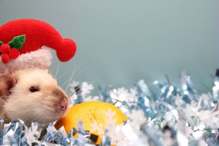 A rat in a Christmas hat and a tangerine among the Christmas tinsel. Happy New year. year of rat 2020 in the Chinese calendar. Stok Fotoğraf - 133454087