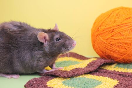 A black decorative rat and an orange ball of knitting thread. Needlework and creativity in the new year 2020. The rat is a symbol Of the new year 2020 according to the Chinese calendar. Stok Fotoğraf