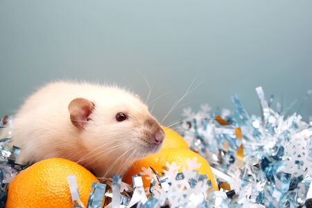 Rat and the tangerine. The rat is a symbol of the new year 2020 in the Chinese calendar. Stok Fotoğraf - 133454547