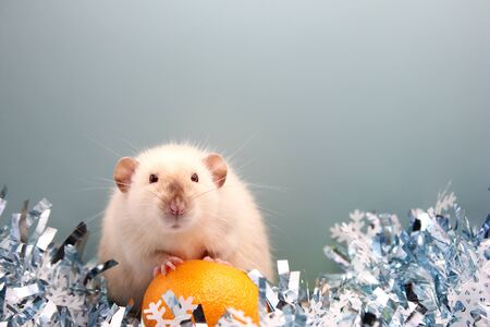 Rat with a tangerine. The rat is a symbol of the new year 2020 in the Chinese calendar. Stok Fotoğraf