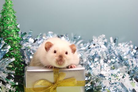White Rat among the Christmas tinsel near the gift. The concept of the New year 2020. Happy New Year.