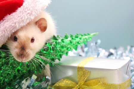 A rat in a Christmas hat with the Christmas tree and the gift. The concept of the New year 2020. year of rat 2020 in the Chinese calendar.