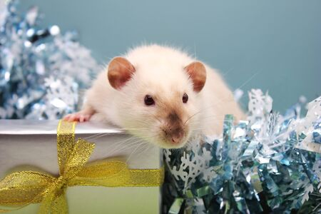 Domestic Rat among the Christmas tinsel near the gift. The concept of the New year 2020. Happy New Year.