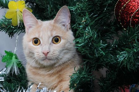 Red cat on the Christmas tree . Christmas pet. Happy new year. Stok Fotoğraf