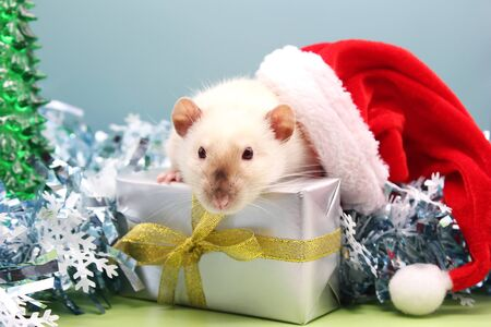 White rat in a Christmas hat with the gift on the Christmas tinsel. The concept of the New year 2020. Year of rat 2020 in the Chinese calendar.