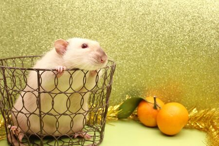 Rat-symbol of the new year 2020 in a metal openwork basket and tangerines nearby. Happy New Year.
