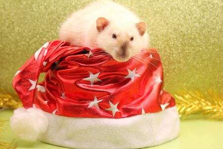 A rat on the red Christmas hat. Happy New year to 2020. The rat is a symbol Of the new year 2020 according to the Chinese calendar.
