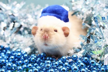 Rat face close-up on blue Christmas background. Selective focus. Symbol of new year 2020. Blue Santa Hat and blue Christmas beads. Color of the year 2020