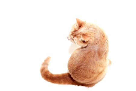 The red cat looks back at the camera. Red cat isolated on a white background. back view