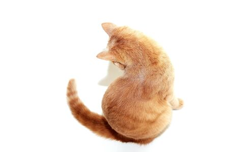 The red cat is sitting with his back to the camera. Red cat isolated on a white background.