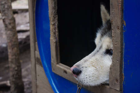 The dogs face looks out of the booth. Sad look of a Husky dog. Close-up of a dogs face. 스톡 콘텐츠