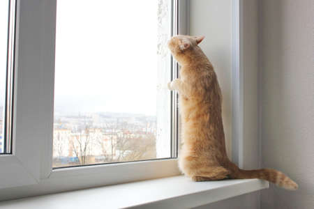 Red cat stands on its hind legs on the windowsill and looks out of the window. Cat in the gopher position.