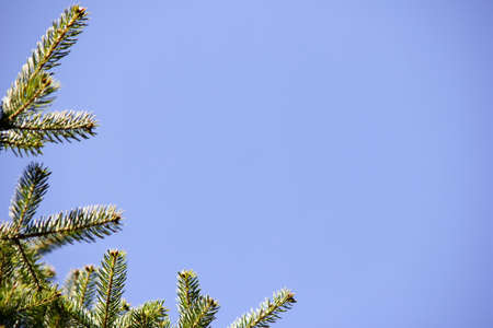 Green branches of a fir tree against a blue sky. Empty space. Stok Fotoğraf