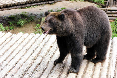 A brown bear on a wooden deck in the zoo. Close up.