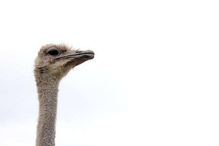 Ostrich head on a long neck. Copy space. Stok Fotoğraf