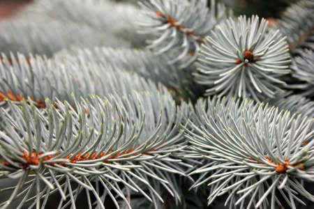 Blue spruce branches close up. Coniferous tree. The natural background. Stok Fotoğraf