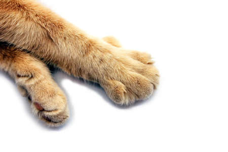 Paws of a red cat close-up on a white background. Pets concept