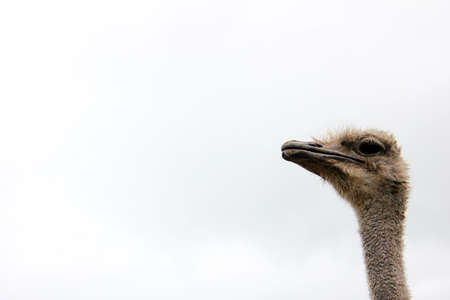 Ostrich head on a long neck against the sky Copy space.