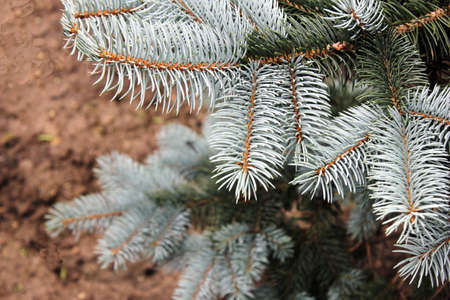 Blue spruce branches close up natural condition. Coniferous tree. The natural background.