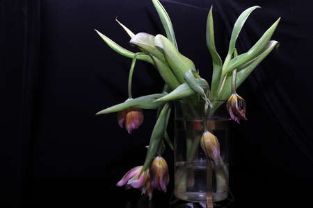 Faded tulips. A bouquet of faded tulips stands in a vase on a black background. Faded flowers.The holiday is over. Stok Fotoğraf
