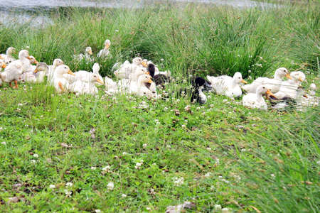 Many domestic ducks are lying in the grass near the reservoir. Life in the countryside. Farming concept.