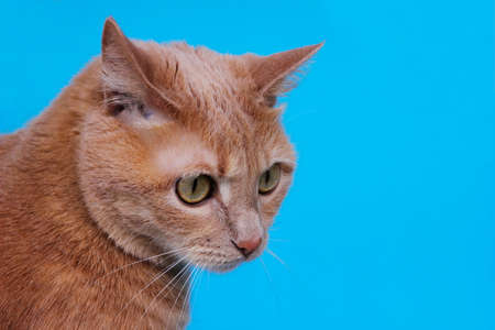 Red cat isolated on a blue background,