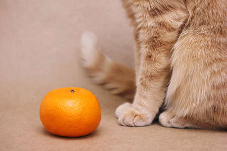 One tangerine and part of a red cat sitting next to it. Vitamins for pets. Cat diet.