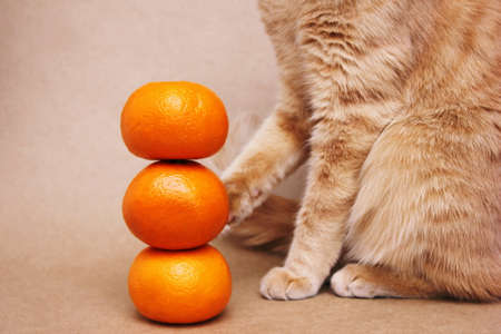 Part of a red cat touching a tower of three tangerines with its paw. Vitamins for pets.