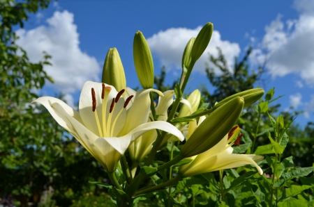 White lily in the field photo