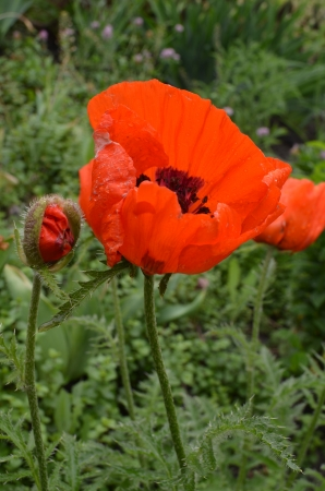 Red Poppy flower close up photo