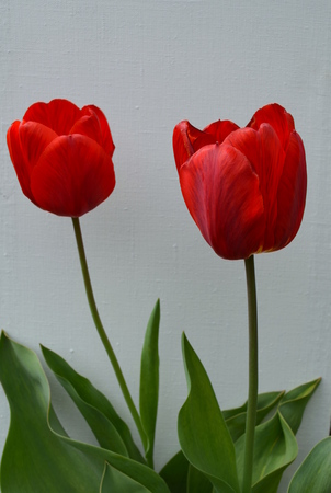 Two red tulips photo