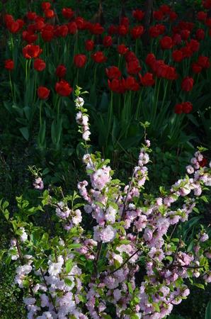 gamme de produit: rosier sur un fond de tulipes rouges